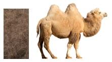 camel_hair