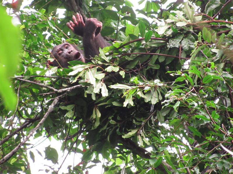 野生のチンパンジーのベッド